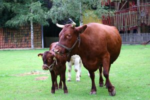 _In Syrien gibt es viele Kühe, aber die sind größer_